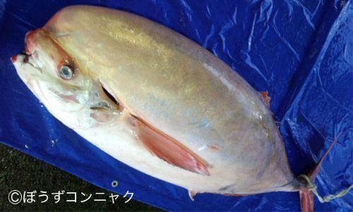体長2m、100kgを超える。写真/岩崎魚店 三重県尾鷲市坂場町5-33