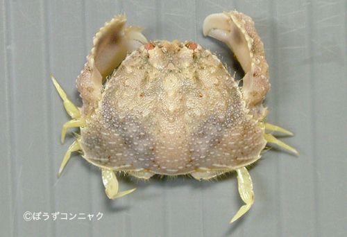 ソデカラッパの生物写真