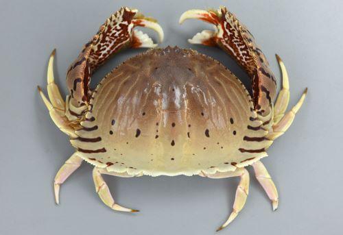 甲長81mm、甲幅121mm前後になる。甲は楕円形をしていて後半翼状に張り出す。その張り出したところにトラの文様(黒い縞模様)がある。若い小型のはこの斑紋はなく薄いペーズリー柄に褐色の輪紋がある。腹部(ふんどし)は雌は幅が左右に狭い長方形で最前部に逆ハート型の部分がある。雄は直線的な細い三角形をしている[雄]