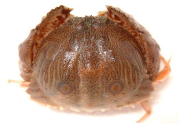 甲長81mm、甲幅121mm前後になる。甲は楕円形をしていて後半翼状に張り出す。その張り出したところにトラの文様(黒い縞模様)がある。若い小型のはこの斑紋はなく薄いペーズリー柄に褐色の輪紋がある。腹部(ふんどし)は雌は幅が左右に狭い長方形で最前部に逆ハート型の部分がある。雄は直線的な細い三角形をしている[若い個体]