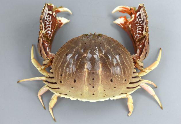 甲長81mm、甲幅121mm前後になる。甲は楕円形をしていて後半翼状に張り出す。その張り出したところにトラの文様(黒い縞模様)がある。若い小型のはこの斑紋はなく薄いペーズリー柄に褐色の輪紋がある。腹部(ふんどし)は雌は幅が左右に狭い長方形で最前部に逆ハート型の部分がある。雄は直線的な細い三角形をしている[雌]