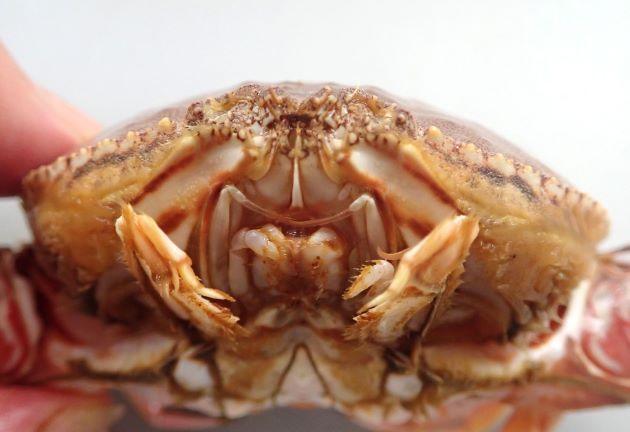 甲長81mm、甲幅121mm前後になる。甲は楕円形をしていて後半翼状に張り出す。その張り出したところにトラの文様(黒い縞模様)がある。若い小型のはこの斑紋はなく薄いペーズリー柄に褐色の輪紋がある。腹部(ふんどし)は雌は幅が左右に狭い長方形で最前部に逆ハート型の部分がある。雄は直線的な細い三角形をしている