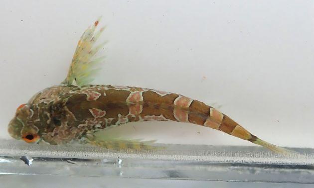 10cm SL 前後になる。頭部が上から見ると丸みがあり、眼後頭部に3対の総状皮弁がある。側線前方に皮弁がある。