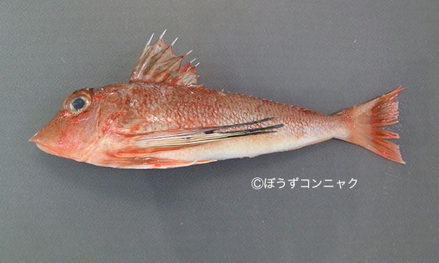 トゲカナガシラの形態写真