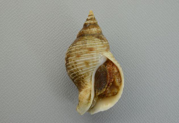 殻長5cm前後。糸状の筋が螺肋にあり、細いところと太いところがある。