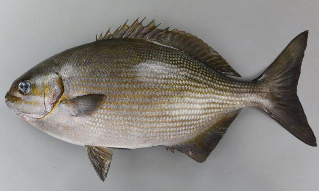体長70cm以上になる。体側に目立った斑紋はなく、鯛型。背鰭軟条は14(ノトイスズミは12)、尻鰭軟条は13(ノトイスズミは11)。