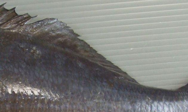 背鰭軟条は14、尻鰭軟条は13。
