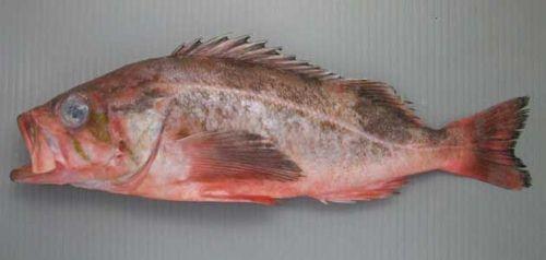 ヤナギメバルの生物写真