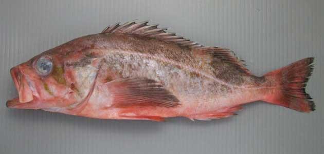 ヤナギメバルの形態写真