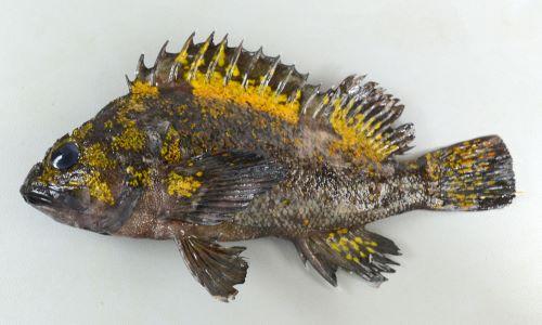 体長23cm前後になる。背鰭棘は13。背鰭直下に無鱗域がある。ムラソイとの違いは体側には黄金色・赤色の様々な形の斑紋がある。