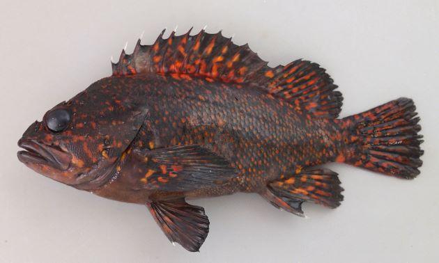 体長23cm前後になる。背鰭棘は13。背鰭直下に無鱗域がある。ムラソイとの違いは体側には黄金色・赤色の様々な形の斑紋がある。[アカブチムラソイ型]
