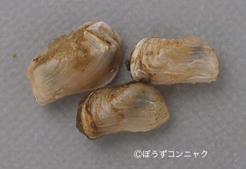 キヌマトイガイの形態写真
