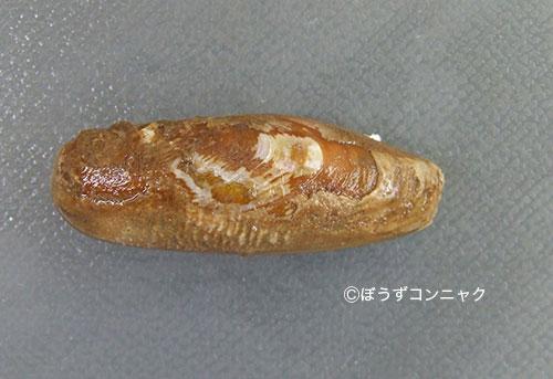 イシマテガイの形態写真