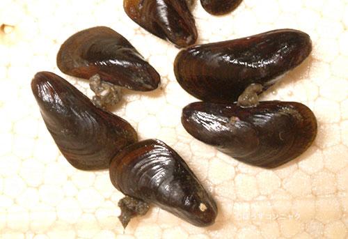 コウロエンカワヒバリガイの形態写真