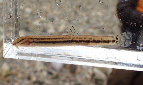体長5cm前後になる。ヒゲは3対。体側に2本の黒い縦筋がある。目から吻にかけて暗色の筋状の斑紋がある。尾柄部に竜骨状隆起がある。