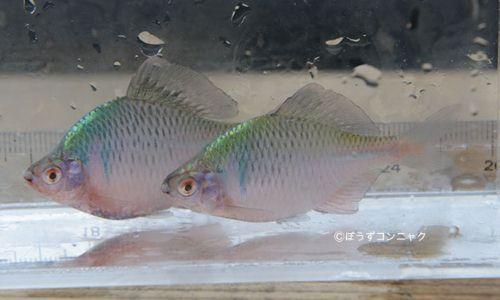 タイリクバラタナゴの生物写真