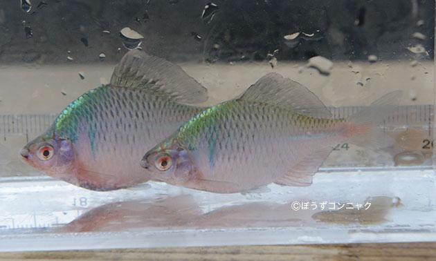 タイリクバラタナゴの形態写真