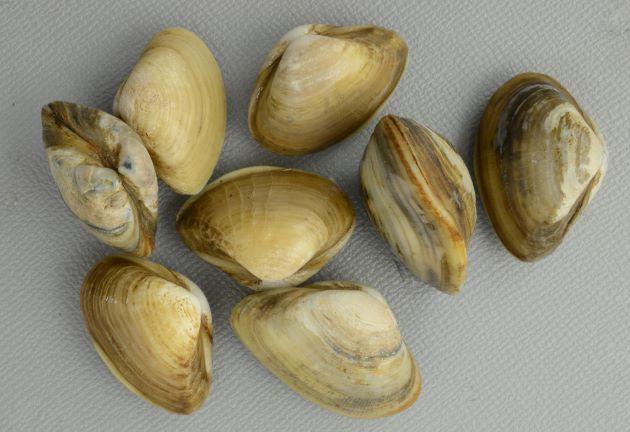 殻長25mm前後になる。右の貝殻が大きく左の貝殻が小さい。腹縁はゆがむ。(涸沼産)