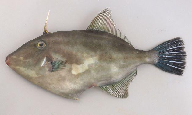 http://www.zukan-bouz.com/public_image/Fish/207/Thumb630/umadurahagi.jpg