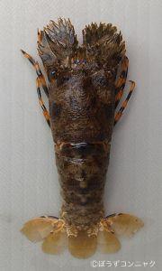 キタンヒメセミエビのサムネイル写真