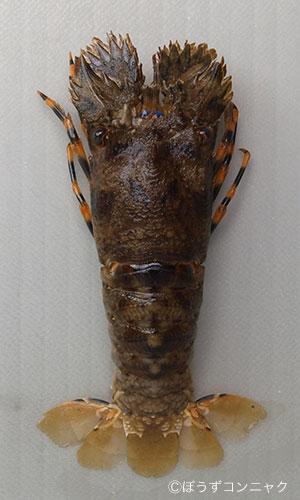 キタンヒメセミエビの形態写真