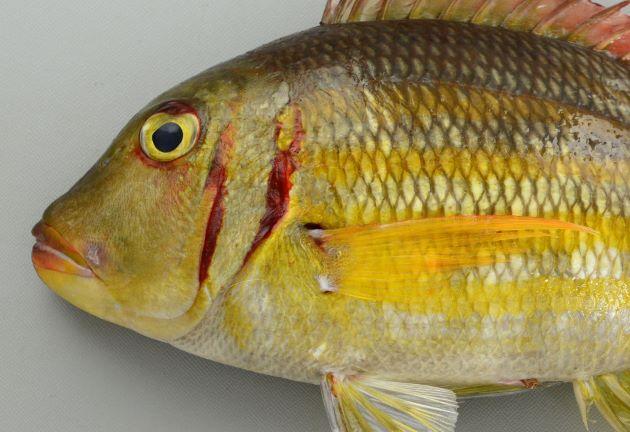 平均的には30cm SL 前後、45cm TL 前後になる。吻は尖らないで丸みを帯びている。体側には5-6本の薄い黄金色の縦縞が走り、鰓蓋の後縁などに赤く血がにじんだような部分がある。尾鰭・背鰭が赤い。