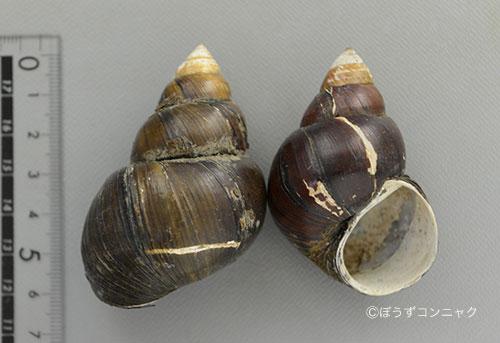 オオタニシの形態写真