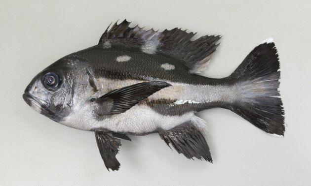 体長60cm前後になる。背鰭後部に鱗がある。幼魚は背部に白い楕円形の斑紋がちらばる。[幼魚/SL19.5cm]