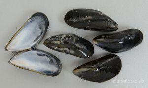 ヨーロッパイガイのサムネイル写真