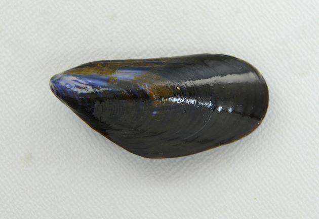 ヨーロッパイガイの形態写真