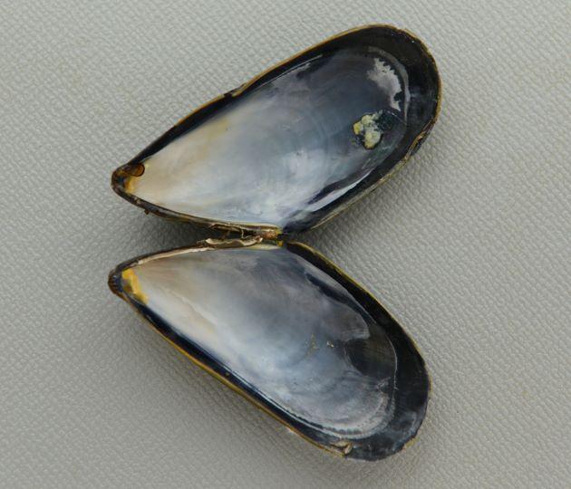 殻長7cm前後になる。貝殻は青みがかっていて、ムラサキイガイよりも細長く表面が滑らか。