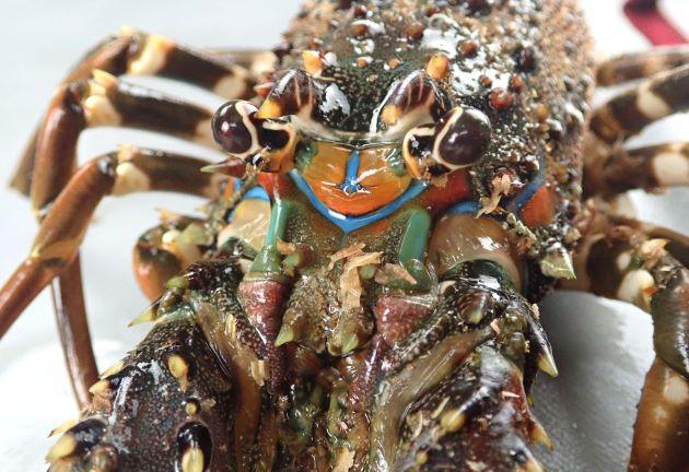 体長26cm前後になる。触角版には2対の大棘が四隅にある。イセエビよりも青みがかる。