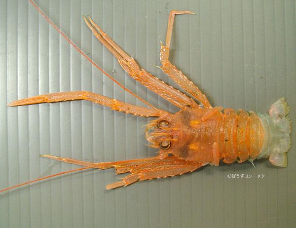 ヒゲナガチュウコシオリエビの形態写真