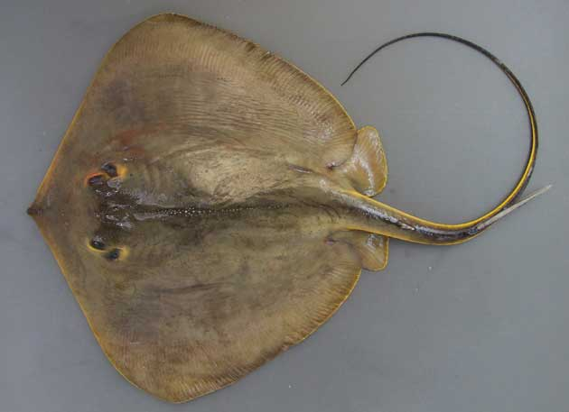 体盤長(尾を除く)80cm以上になる。平たく口、鼻、鰓孔は下(腹面)に吸水口(呼吸の海水を取り入れる)が背面にある。鱗(うろこ)はない。アカエイは目の後ろの噴水孔の付近は黄色い。体盤の正中線上に1列のトゲトゲがある。裏側の縁がオレンジ色だ。尾に一本の硬くて大きな棘がある。