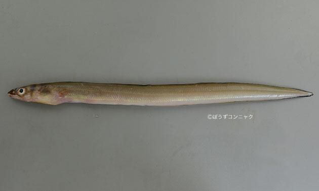 ハナアナゴの形態写真