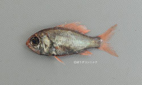 ハリダシエビスの生物写真