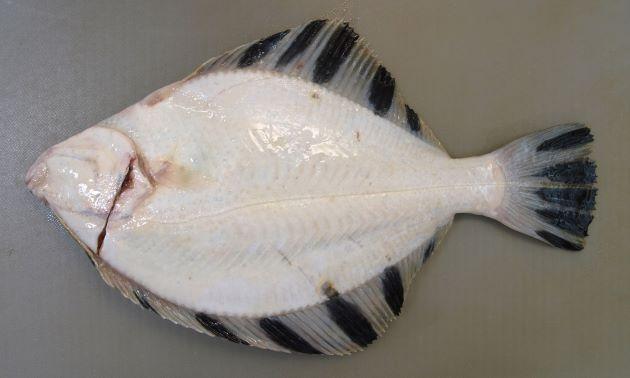 SL 90センチ以上になる。目が左側にある(北米やアラスカのものは右側にあるものもある)。背鰭(せびれ)、尻鰭(しりびれ)にはっきりした黒い帯があり、表側にイボ状のザラザラした鱗(うろこ)が前半と側線周辺にある。