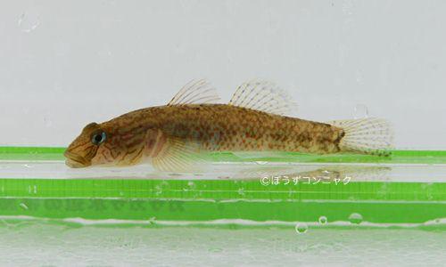 シマヨシノボリの生物写真