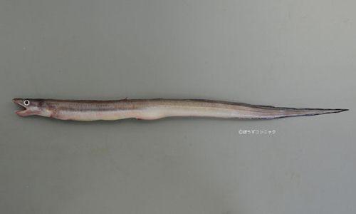 ニセツマグロアナゴの生物写真