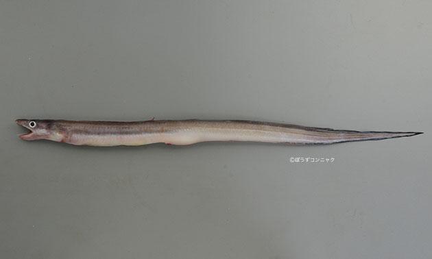ニセツマグロアナゴの形態写真