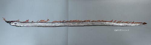テングノタチの生物写真