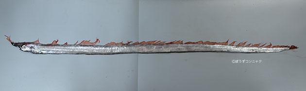 テングノタチの形態写真