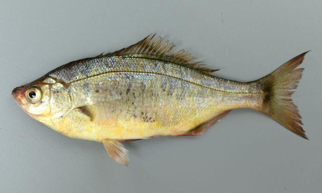 12cm SL 前後になる。ウミタナゴよりも左右に平たく、頭部目の上がくぼむ。尾鰭の先端が尖る。