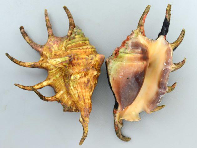 クモガイの形態写真