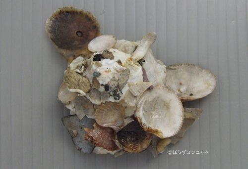 クマサカガイの生物写真
