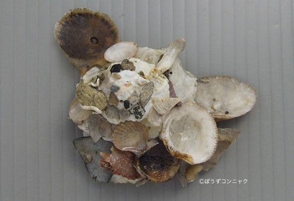 クマサカガイの形態写真