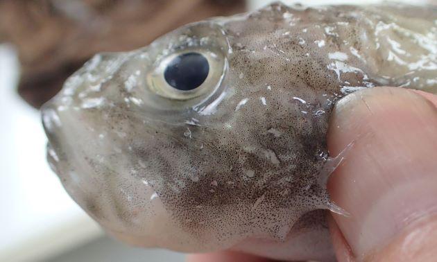 前鰓蓋骨第2棘の基底部分に棘がない。