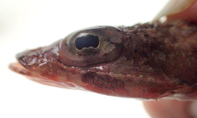 SL 10cm前後。体側に褐色の横縞状の斑紋がある。目の虹彩皮膜の上編は樹枝状で複雑、虹彩皮弁の下片は2つの峰がある。