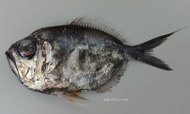 ツバサナカムラギンメの形態写真