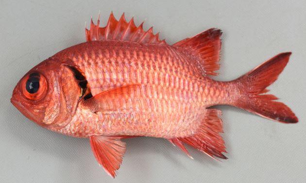 体長16cm前後になる。ヨゴレマツカサと比べると全体に明るい。背鰭棘は11、胸鰭腋部に小さな鱗の塊がある。鰓蓋膜の黒い部分は主鰓蓋骨棘の下にまで伸びる。
